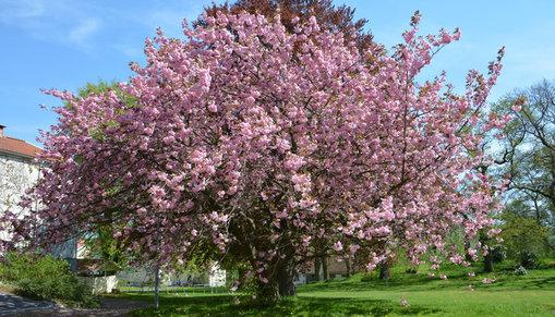 Träd med rosa blommor.