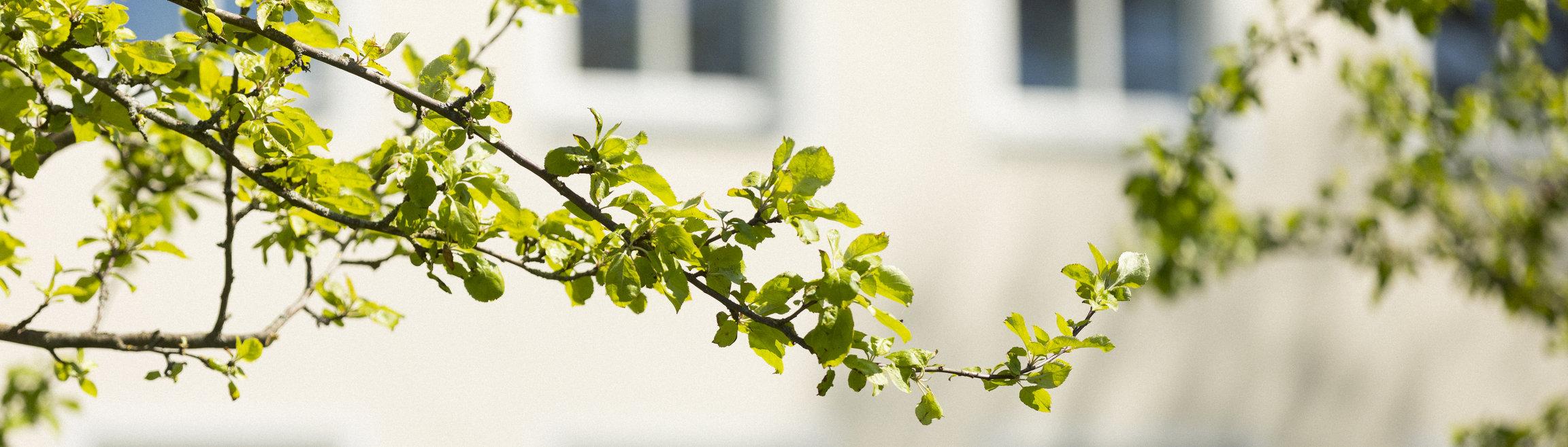 Gren med gröna vårlöv.